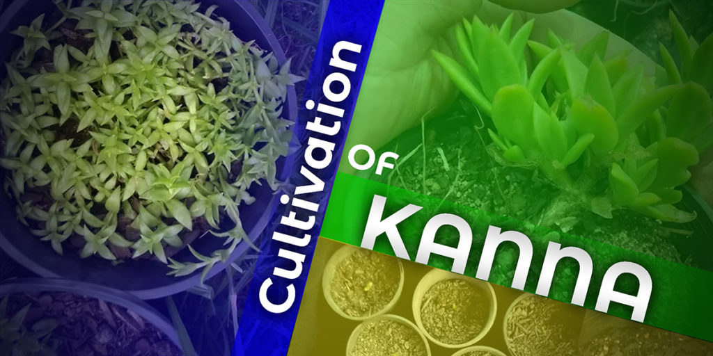 Cultivation Of Kanna
