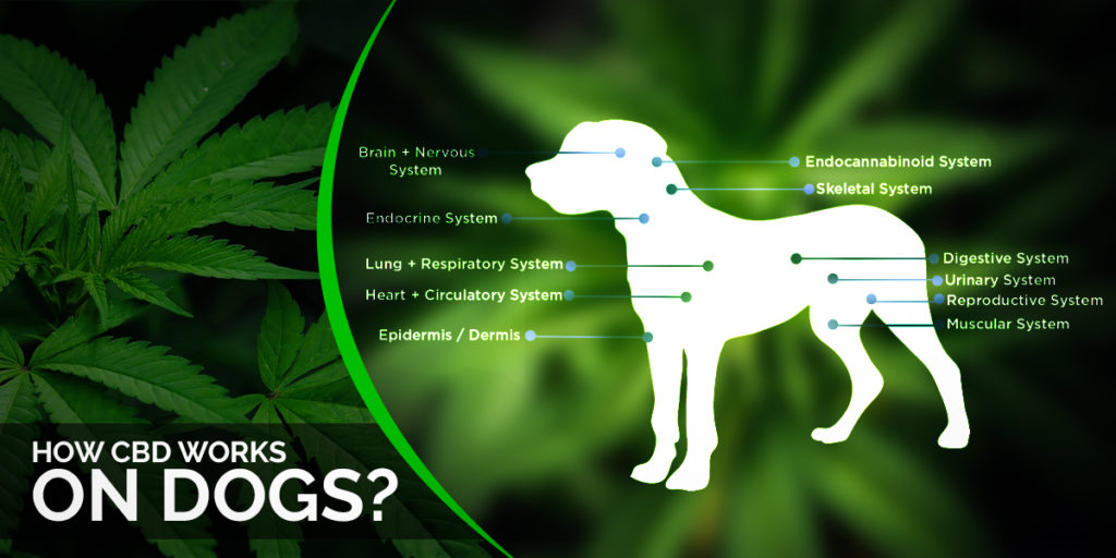HOW CBD WORKS ON DOGS?
