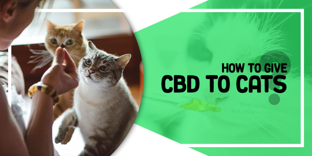 How to give CBD to cats